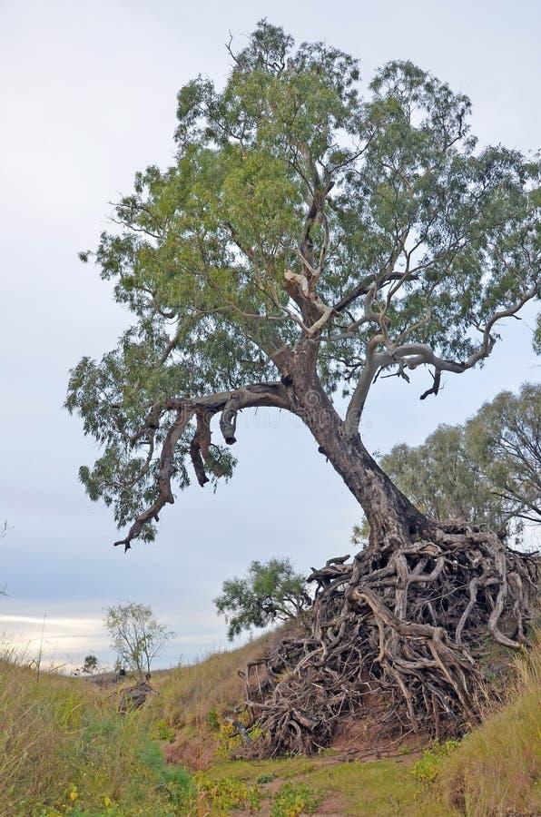 Alter Baum mit herausgestellten verwirrten Wurzeln lizenzfreie stockfotografie