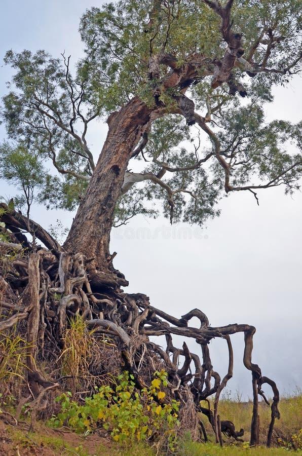 Alter Baum mit herausgestellten verwirrten Wurzeln stockfotos