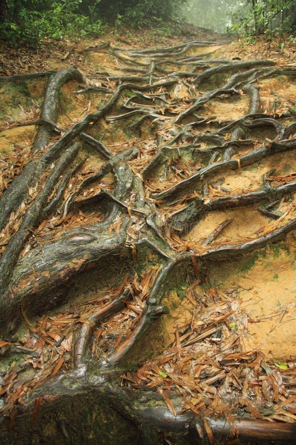 Alter Baum mit Wicklung-Wurzeln stockfotografie