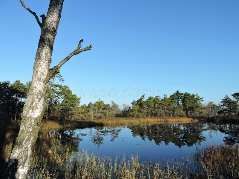 Alter Baum und kleiner See im Sumpf, Litauen lizenzfreie stockfotos