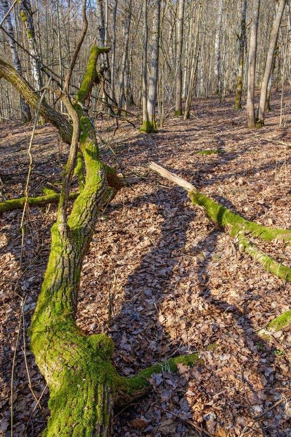 Alter Baumstamm mit grünem Moos im Wald stockfotos