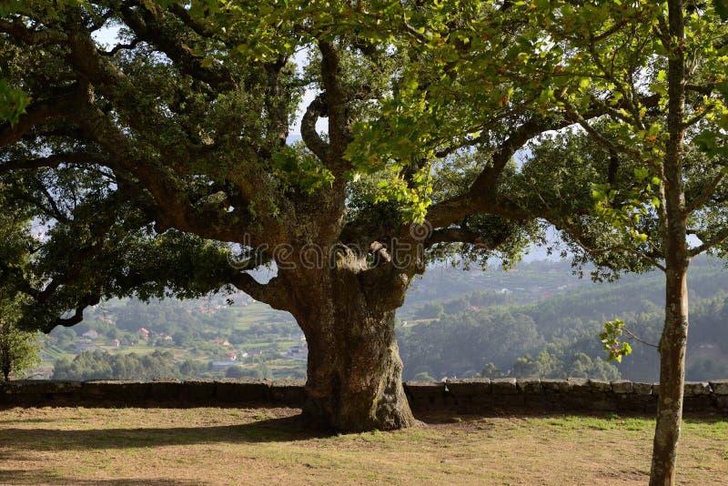 Alter beständiger Baum im Park stockfotografie