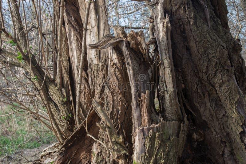 Alter defekter Weidenbaum stockfoto