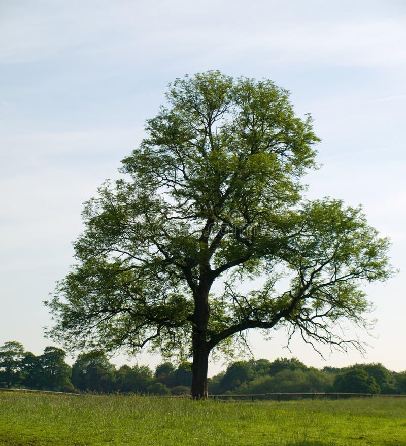 Alter Eichen-Baum auf dem schönen grünen Gebiet stockfotos