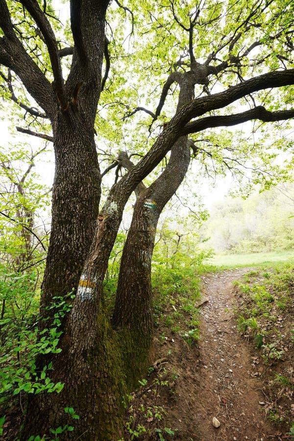 Alter Eichenbaum lizenzfreies stockfoto