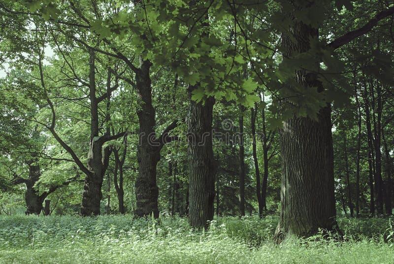 Alter Eichenholzhintergrund stockbilder