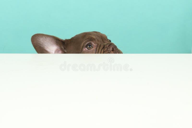 Alter englischer Bulldoggenwelpe, der über den Rand einer weißen Tabelle auf einem blauen Hintergrund späht stockfotografie