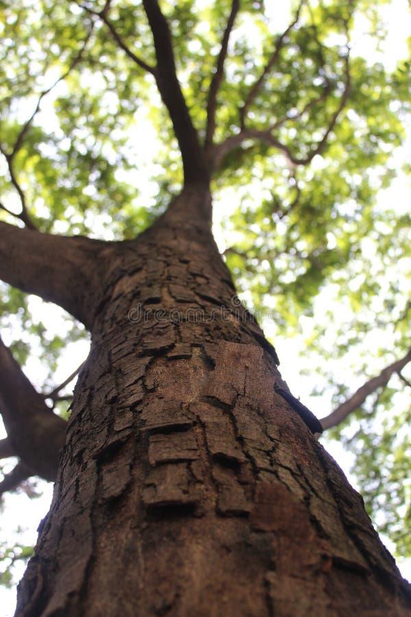 Alter großer Baum lizenzfreies stockfoto