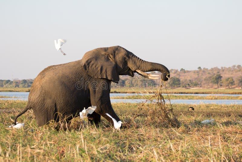 Alter Herumsuchenelefant rüttelt Vögel in Chobe, Botswana auf stockfotos