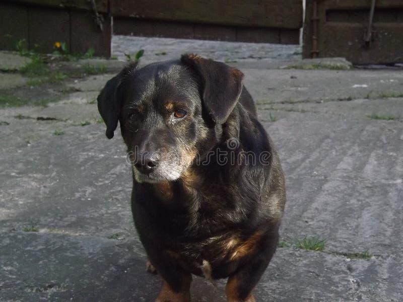 Alter Hund dachshund Auf dem Hinterhof stockfotografie