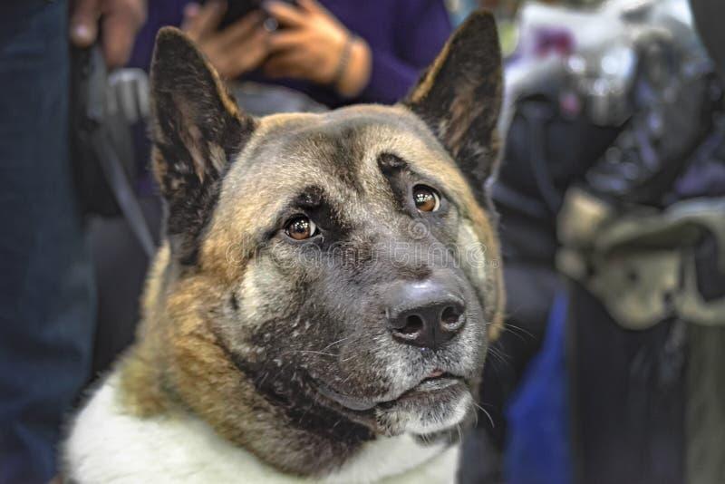 Alter Hundamerikaner Akita mit grauem Gesicht und intelligentem Blick Edler japanischer Hund des vorderen Porträts der Nahaufnahm stockfoto