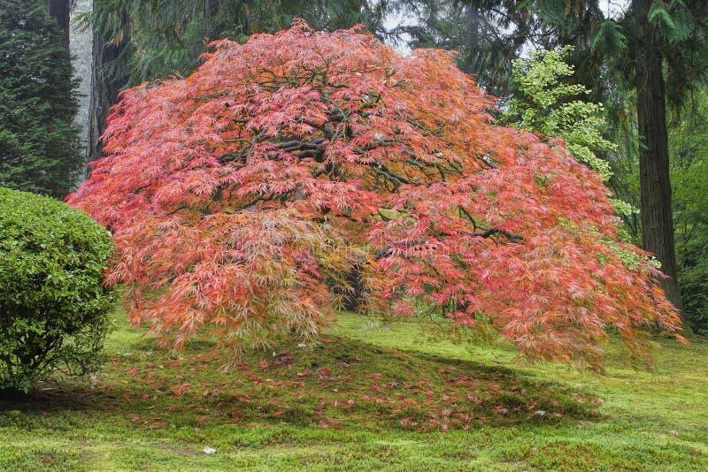 Alter japanischer Ahornbaum im Herbst stockbilder