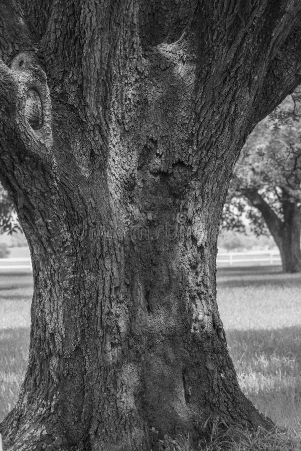 Alter knotiger Baum lizenzfreie stockfotografie