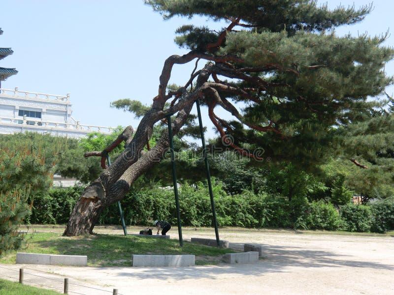 Alter lehnender Baum in Seoul, Südkorea stockbilder
