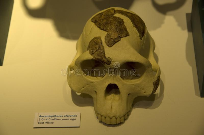 Alter menschlicher Skelettkopf in Harvard-Naturkundemuseum stockfotografie