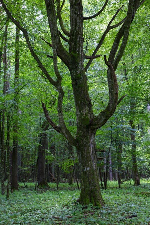Alter monumentaler Weißbuche-Baum (Carpinus Betulus) lizenzfreie stockfotos