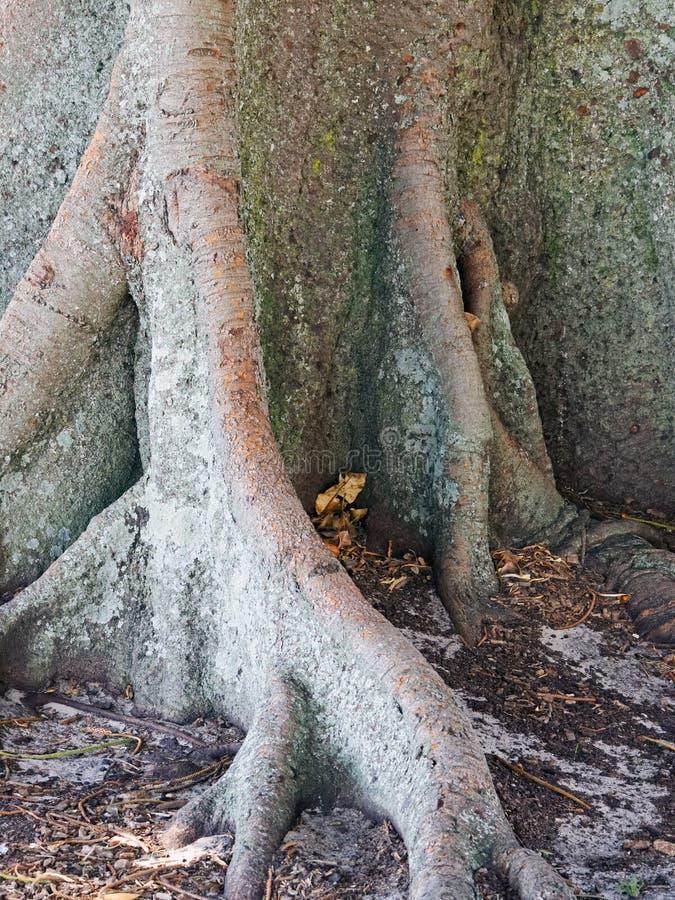 Alter Morton Bay Fig Tree, Detail der Basis und des Wurzelwerks lizenzfreies stockbild