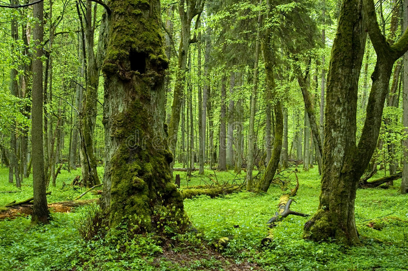 Alter natürlicher Wald stockbild
