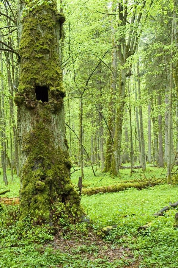 Alter natürlicher Wald stockfoto
