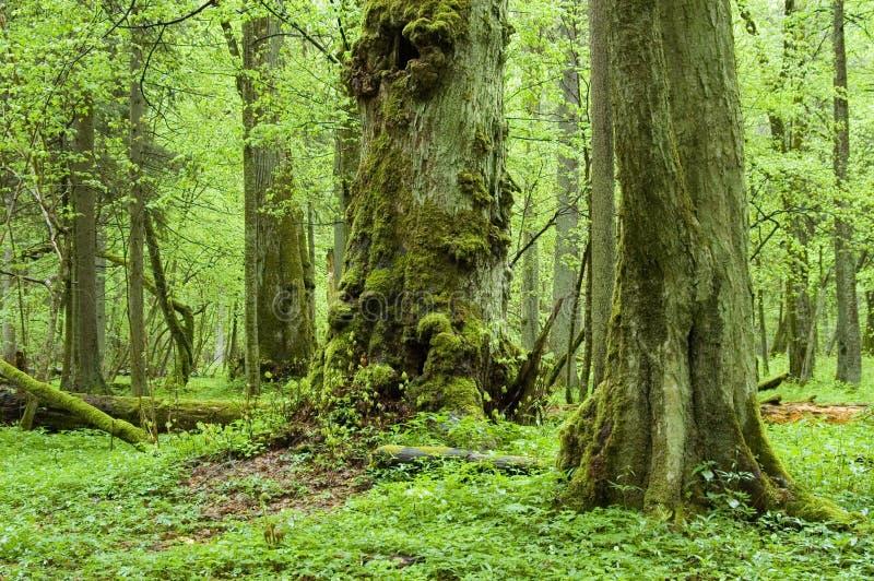 Alter natürlicher Wald lizenzfreie stockfotos