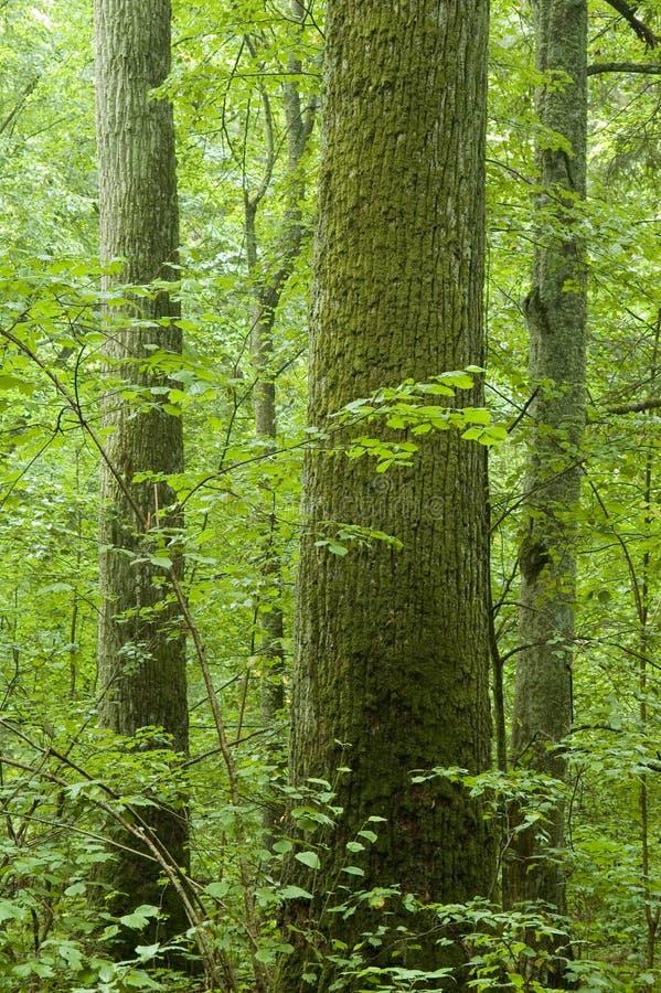 Alter natürlicher Wald lizenzfreies stockfoto