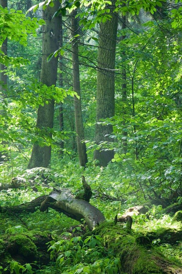 Alter natürlicher Wald am Regen der Dämmerung gerade nachher lizenzfreies stockfoto