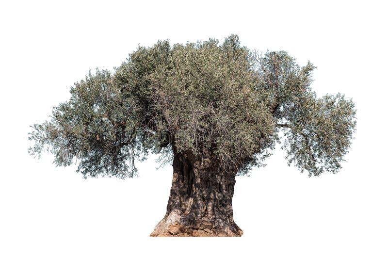 Alter Olivenbaum stockbild