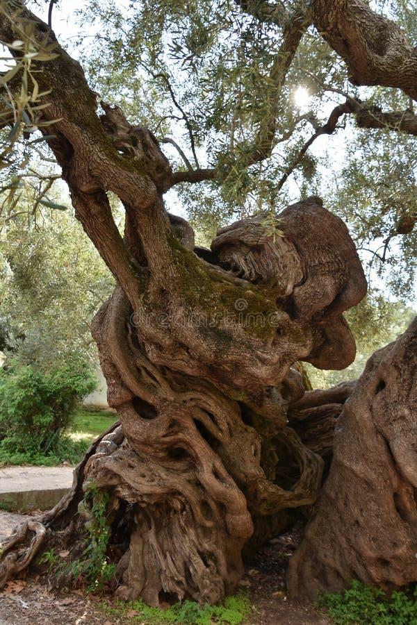 Alter Olivenbaum stockbilder