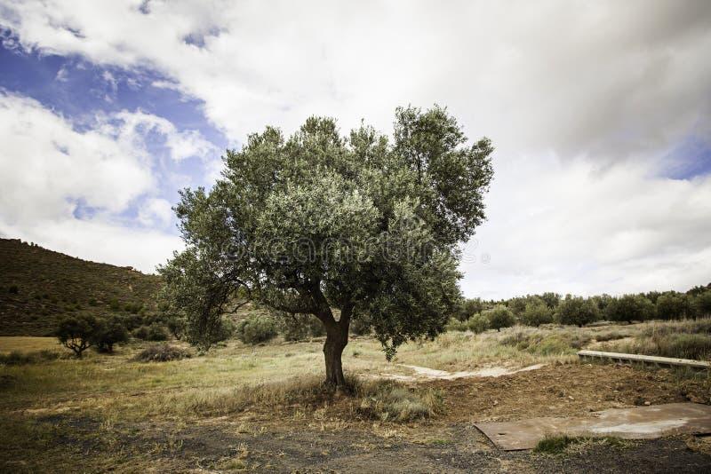 Alter Olivenbaum in der Natur lizenzfreie stockfotos