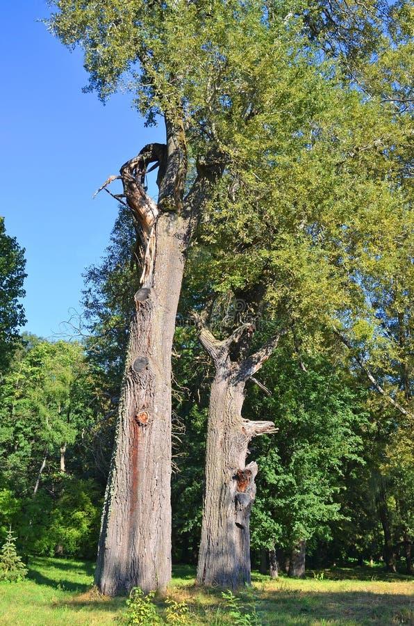 Alter Pappelbaum lizenzfreies stockfoto