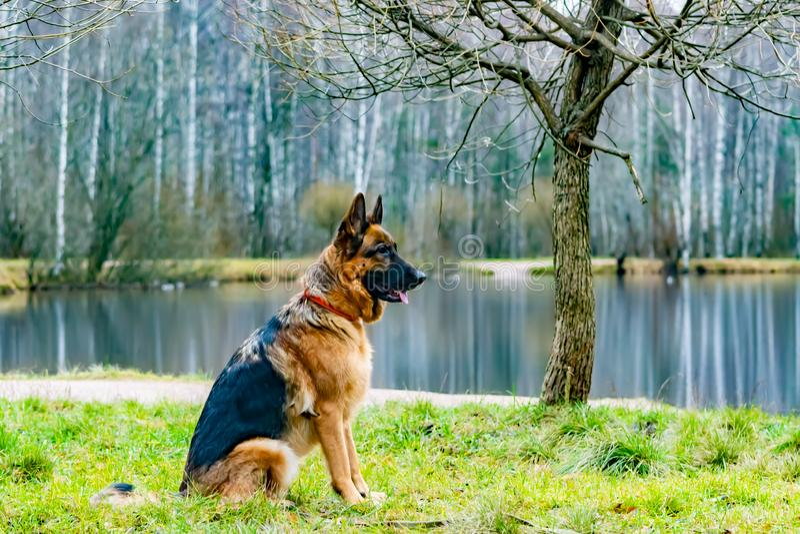 Alter Schäferhund Porträt auf einem Hintergrund von einem Teich mit Enten stockfotos