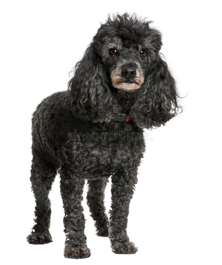 Alter schwarzer Pudel (12 Jahre alt) lizenzfreie stockfotos