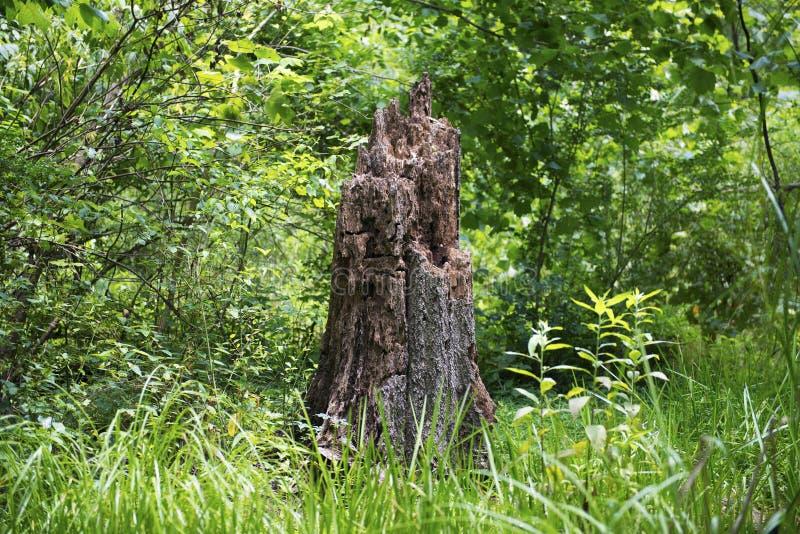 Alter Stumpf im Wald lizenzfreies stockbild