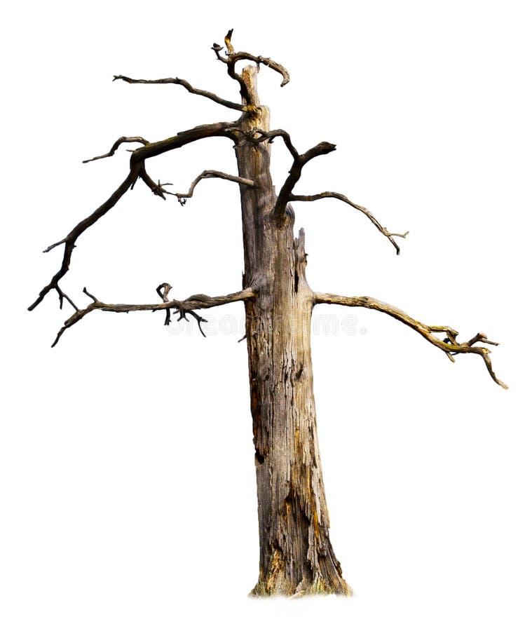 Alter toter Baum getrennt auf Weiß lizenzfreies stockbild