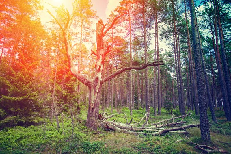Alter toter Baum im Kiefernwald lizenzfreies stockfoto