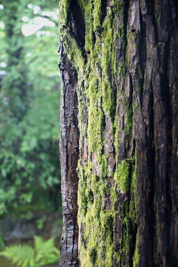 Alter und moosiger Baum-Stamm stockfotos