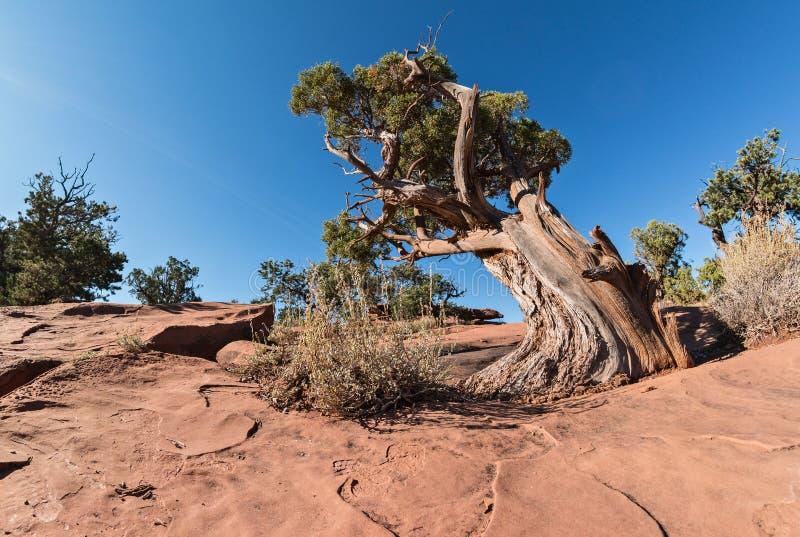 Alter Utah-Wacholderbusch lizenzfreies stockbild