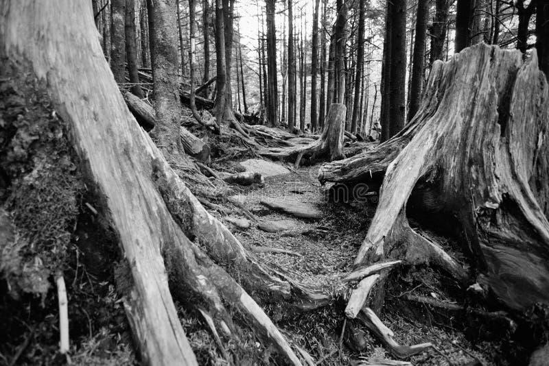 Alter verfallender Wald der gezierten Kiefer beschädigte durch sauren Regen von der Luftverschmutzung am Berg Mitchell, NC lizenzfreie stockfotos