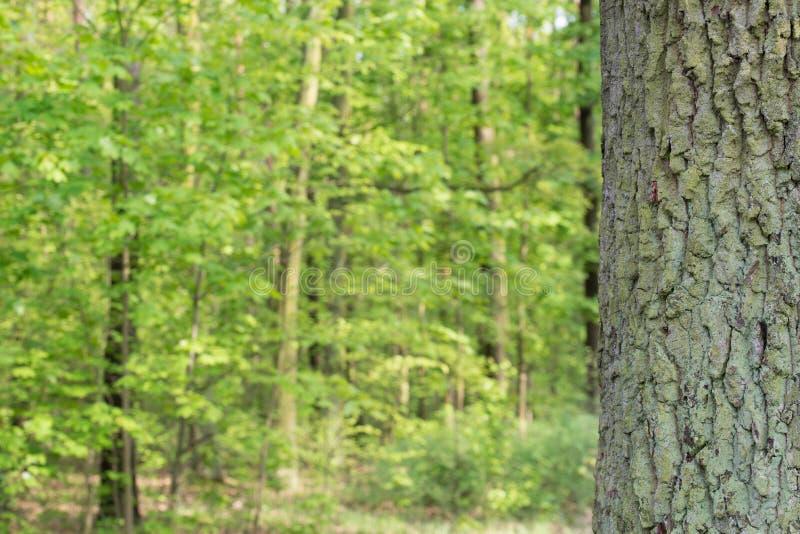 Alter Wald des Eichenstammes im Frühjahr lizenzfreie stockfotos