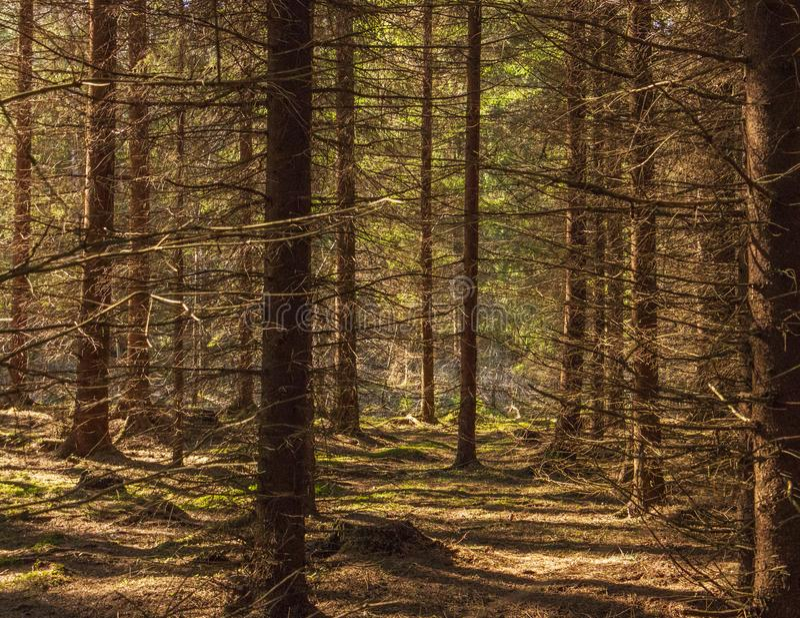 Alter Wald genießt vom Sonnenschein stockfotos