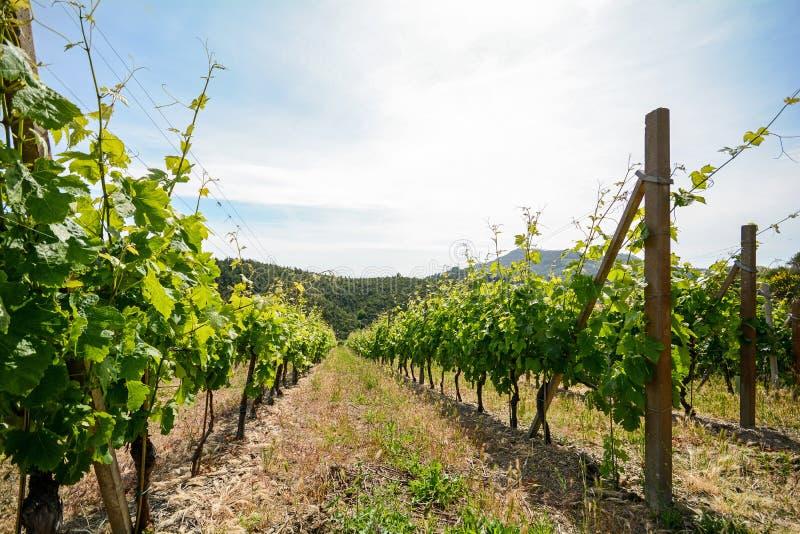 Alter Weinberg im Toskana-Weinanbaubereich, Italien lizenzfreie stockfotografie
