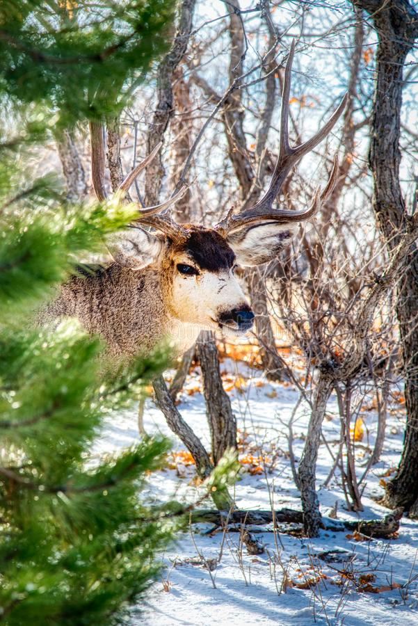 A Beautiful Mule Buck Deer with Huge Rack Emerges From the Pines and Oaks. Alternate Angle A majestic buck emerges from the trees in the forest on a winters stock photos