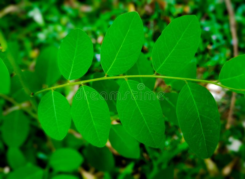 Green leaves of plants. Alternate formation of green leaves of a tropical plant, garden stock images