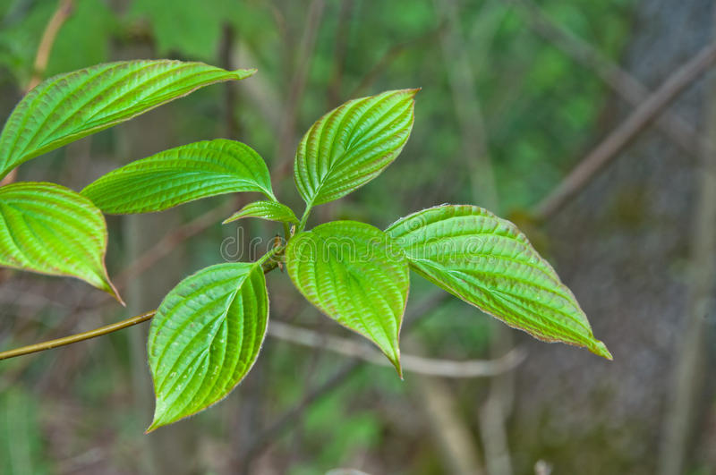 Alternate-leafed dogwood leaves. The graceful leaves of the alternate-leafd dogwood shine in spring green colors royalty free stock image