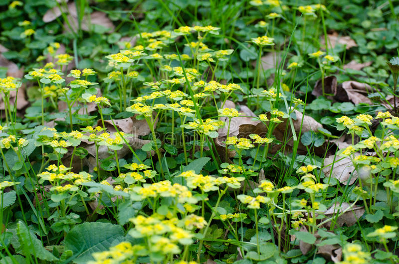 Alternate-leaved golden saxifrage. Chrysosplenium alternifolium is a species of flowering plant in the saxifrage family known as the alternate-leaved golden stock photos