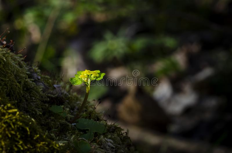 Alternate-leaved Golden Saxifrage grow in forest. Alternate-leaved Golden Saxifrage Chrysosplenium alternifolium grow in forest. Close up stock photography