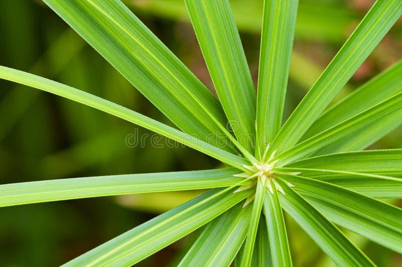 Alternifoius van Cyperus royalty-vrije stock fotografie