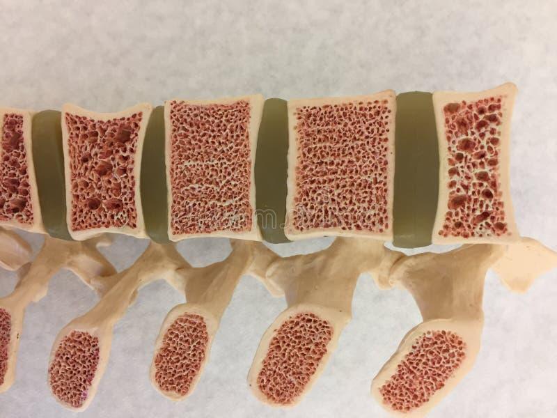 Altes anatomisches Modell der menschlichen Wirbelsäule lizenzfreie stockfotografie