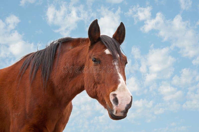 Altes arabisches Pferd, das den Projektor betrachtet stockfoto
