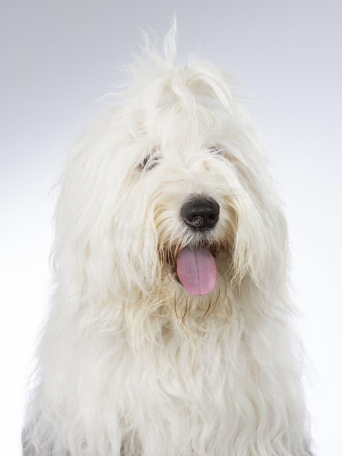 Altes englisches Schäferhundeporträt Bild eingelassen einem Studio lizenzfreie stockfotos